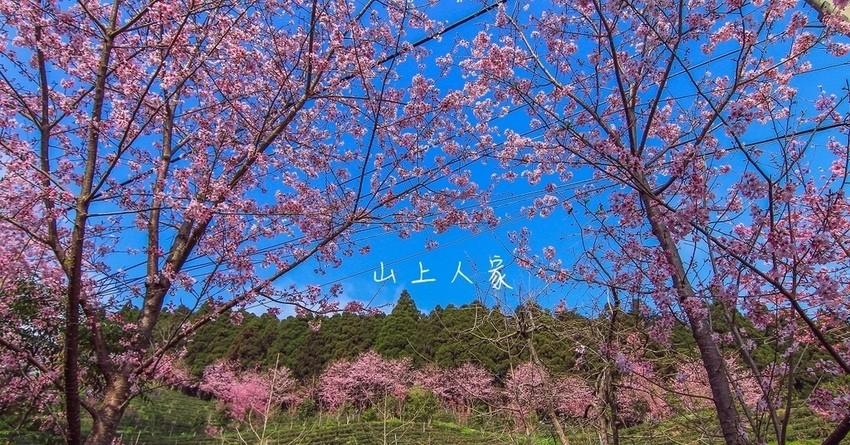 2017-山上人家櫻花季超美!一整排粉嫩櫻花綻放在梯形的茶園上,嘆為觀止的浪漫粉色美麗(3/16~3/26開放日出雲海拍攝),空拍直擊會發光的櫻花之美!空拍需申請。 @小腹婆大世界