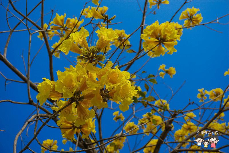 彰化黃風鈴木 051