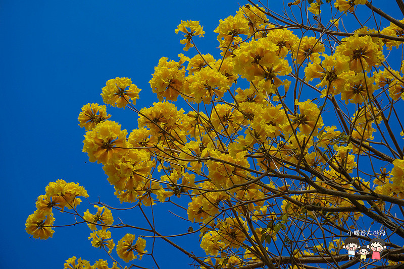 彰化黃風鈴木 062