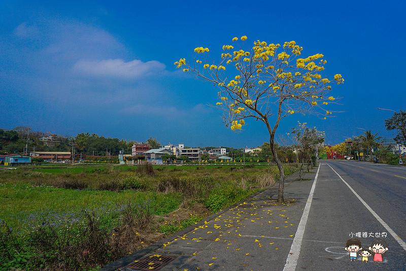 彰化黃風鈴木 066