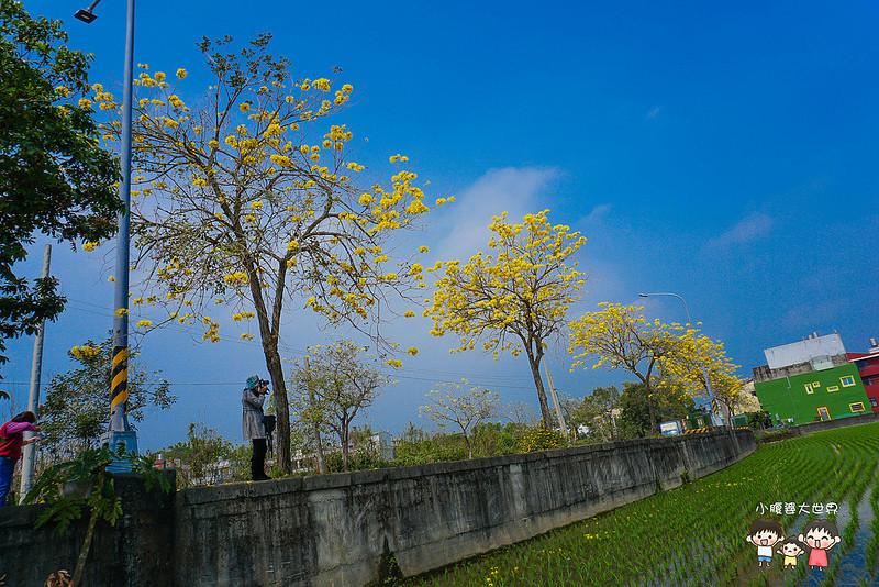 彰化黃風鈴木 076