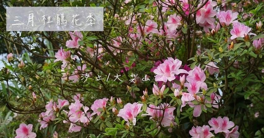 [汐止景點]大尖山杜鵑花開滿山,爬山欣賞路邊杜鵑之美(花季3~4月),白色粉色紅色齊花綻放,一覽汐止全景,汐止半日遊推薦,欣賞日落的制高點-開車直接到。 @小腹婆大世界
