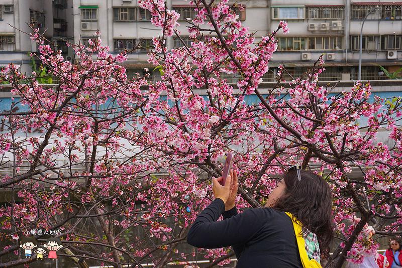 台北櫻花秘境 057