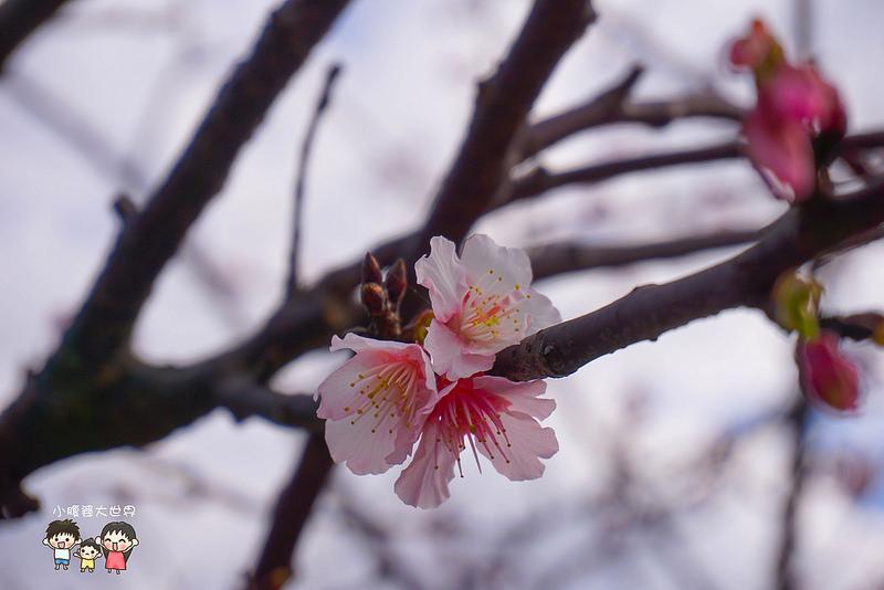 台北櫻花秘境 046
