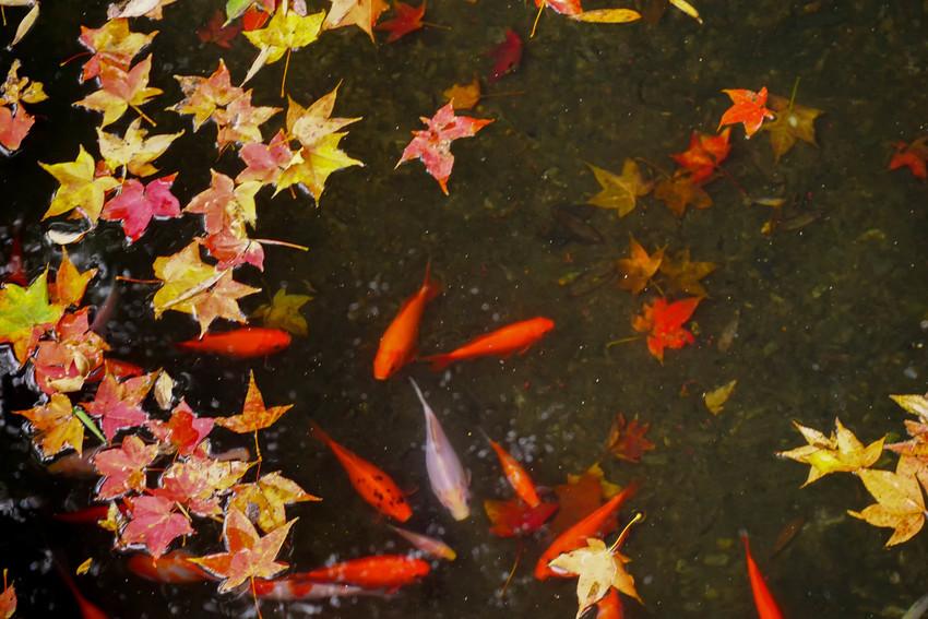 新北汐止 拱北殿賞楓:超美!像京都之美~楓葉落滿地,拱北殿楓葉將近尾聲,快抓住最後的2天。