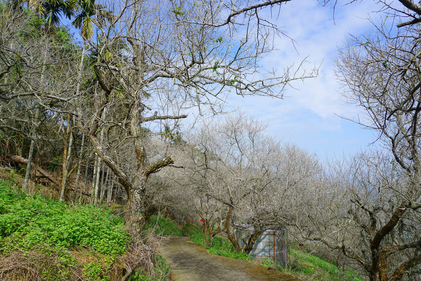 南投九份二山七號梅莊賞梅,銀白色的梅花世界,滿山滿谷的梅花紛飛,目前開滿八成,賞花出發囉!