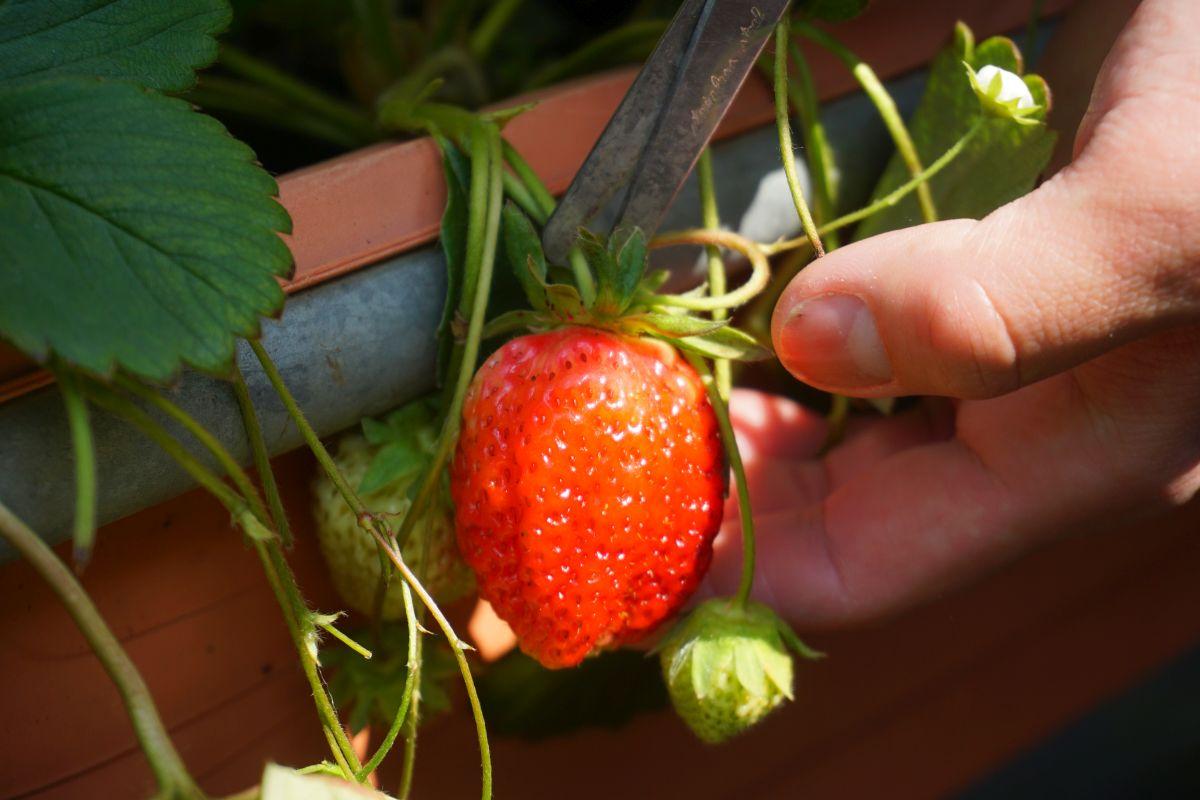 台北採草莓一日遊攻略|內湖採草莓、吃草莓冰、雙心池、愛心花田、白石湖吊橋、必吃居和熹小籠包
