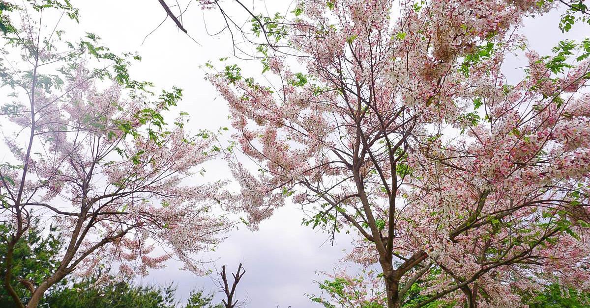 雲林菓風巧克力工房:浪漫爆發~一整片粉紅花旗木綻放,像在櫻花樹下野餐的幸福感!2018花況 @小腹婆大世界