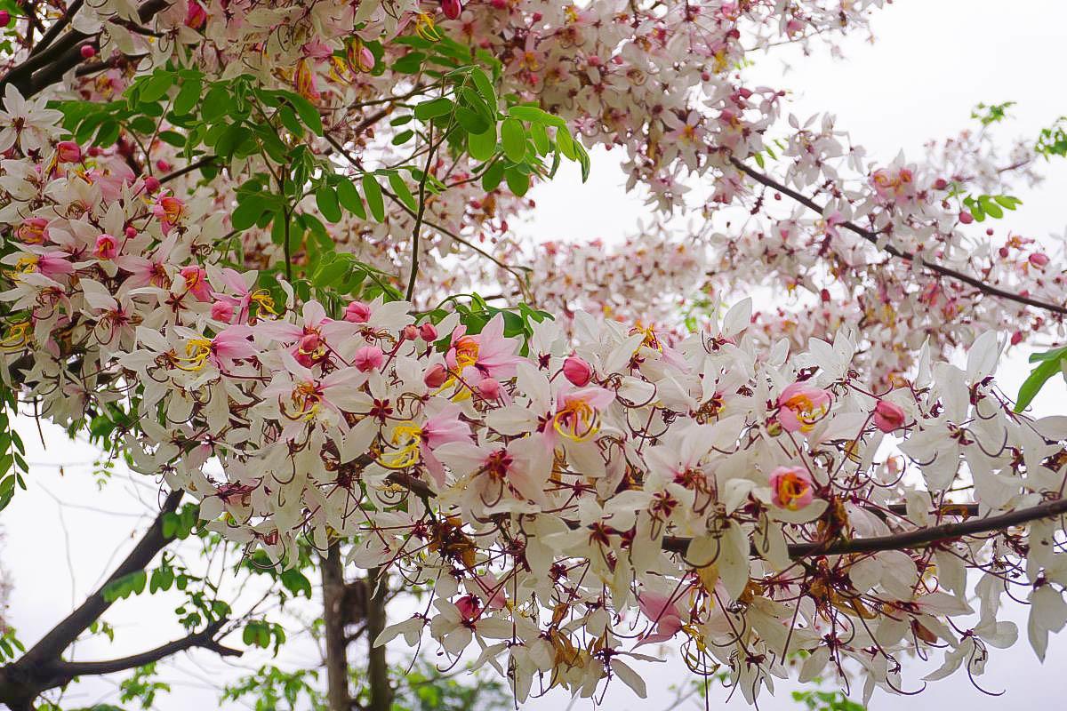 雲林菓風巧克力工房:浪漫爆發~一整片粉紅花旗木綻放,像在櫻花樹下野餐的幸福感!2018花況