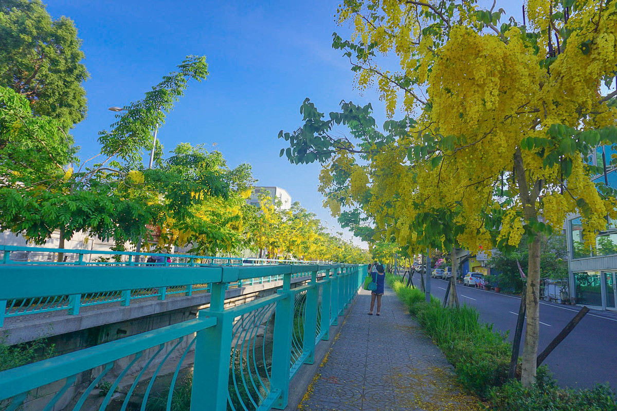 南投阿勃勒大道|美麗的阿勃勒綻放盛開,隨風飄落的金色花瓣,國外度假浪漫氛圍,最新花況。