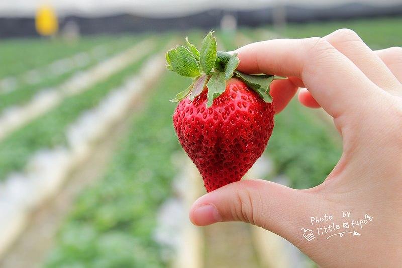 彰化採草莓|大彰化草莓園2020/1/11開放採草莓:五十元的超大草莓,咬下去滿滿的湯汁!來趟彰化草莓一日遊吧! @小腹婆大世界