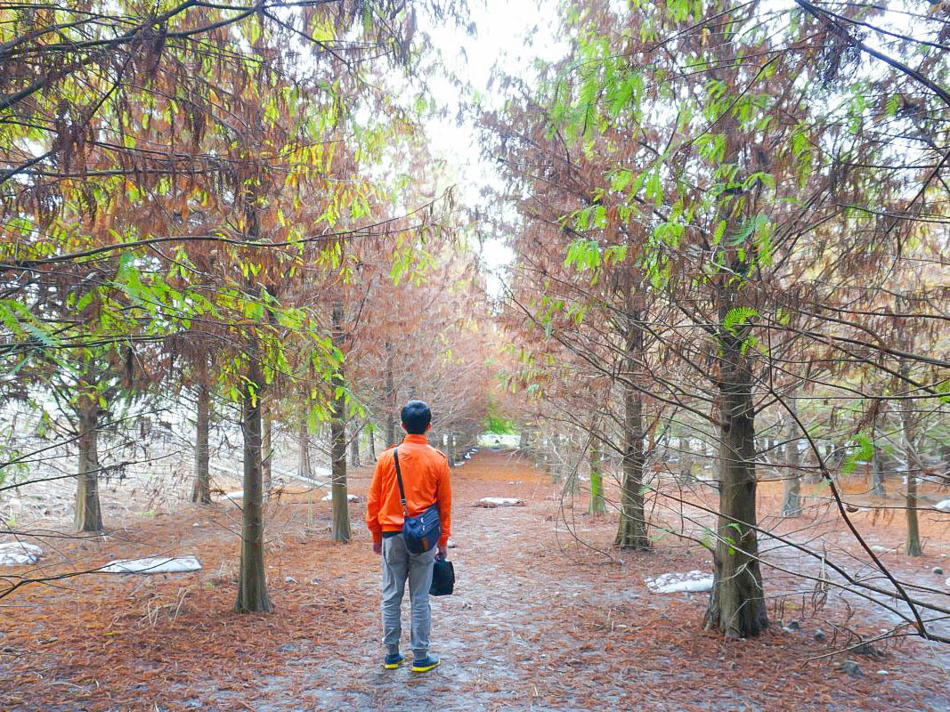 雲林景點》林內九芎村羅羽松秘境,一大片火紅落羽松森林,彷彿置身北國場景,拍照拍不停,浪漫婚紗情侶約會景點~