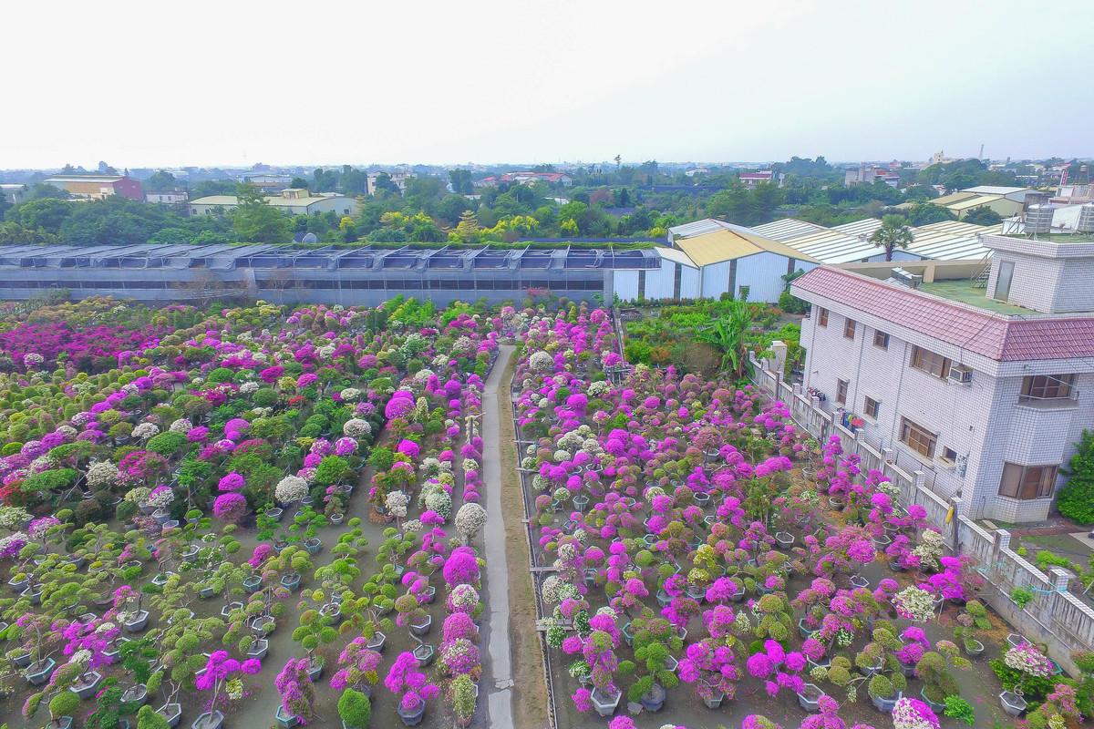 彰化田尾《輝豐園藝:宛如童話般的粉色迷宮,探索不一樣的美、最新花況,漸層之美讓妳相機拍不停,一日遊網美照景點。