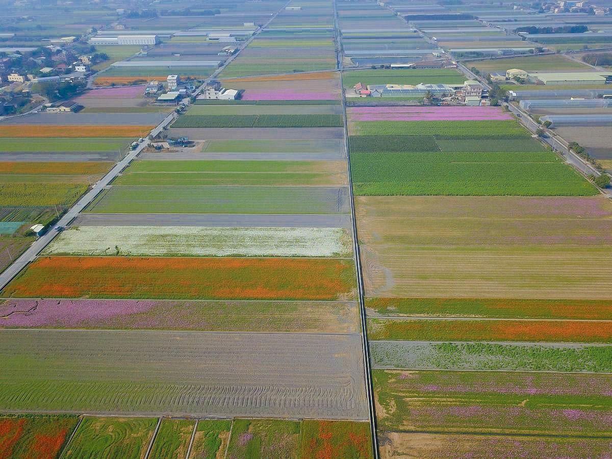 2019雲林花海大爆發!比小朋友還高的四色波斯菊變成漸層花毯,還有燦爛的向日葵田,完全拍不停啊!