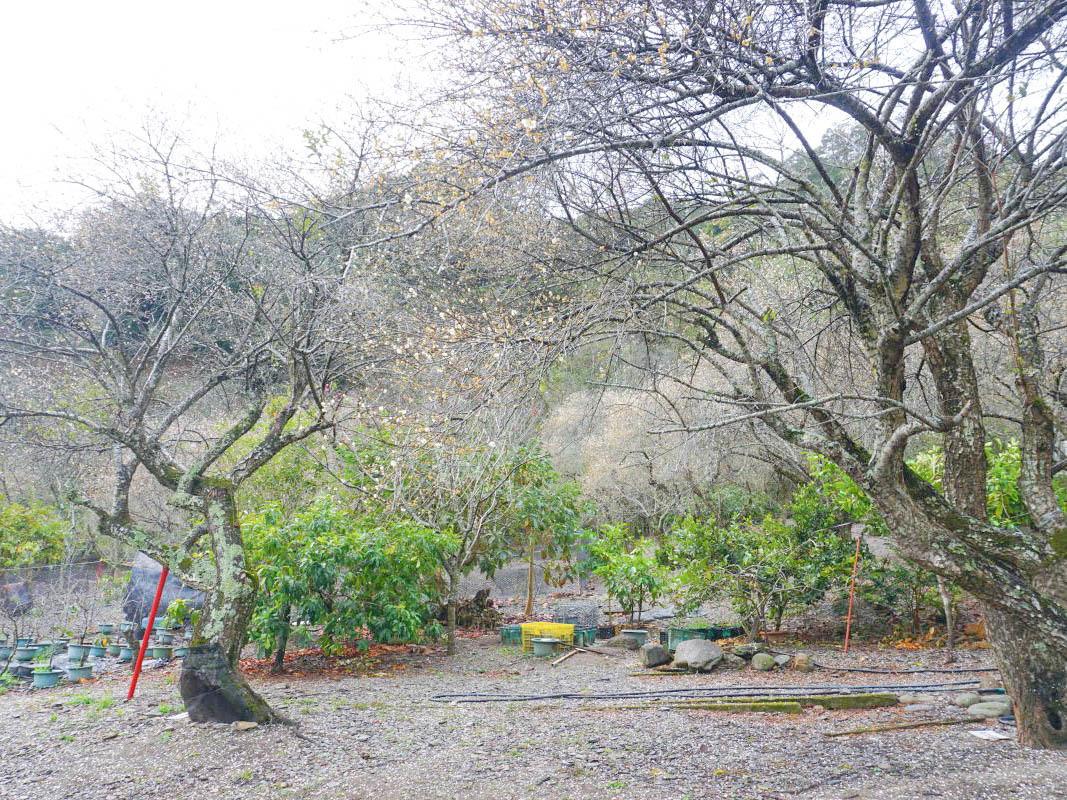 南投梅花|莊敬梅園~抓住最後一抹雪白美景,隱藏版梅花秘境進入尾聲,雪白梅花隨風飄落就像下雪了~期待櫻花季。