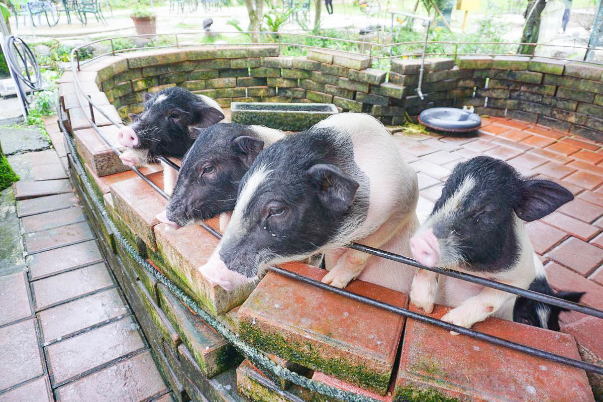 宜蘭景點》宜農牧場,3歲以下免費,門票50元,超好玩的兒童碰碰車.餵小豬.小羊.天竺鼠.小雞.小鴨,溜滑梯,盪鞦韆,平衡木,讓小朋友一次餵個夠!
