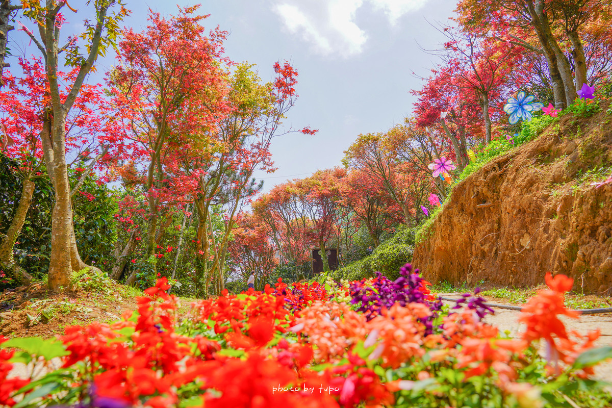 台北賞楓景點》最新花況!台北奧萬大莊園,楓紅季一整片唯美紅葉林、森林山泉水戲水池,距離市區30分,停車位難求
