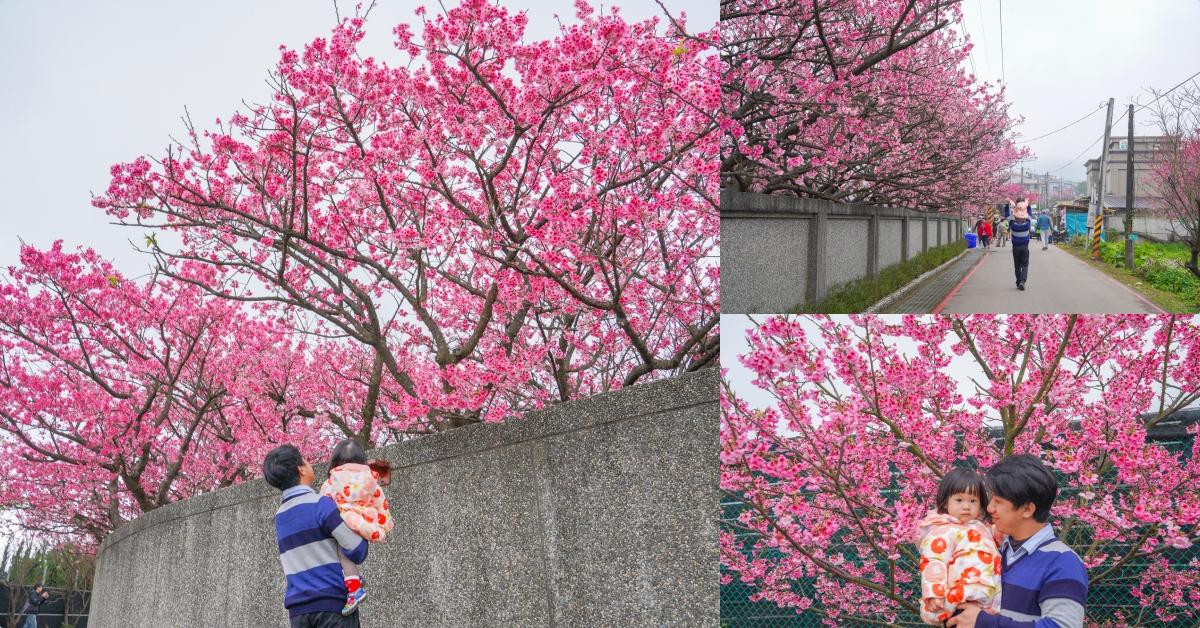 陽明山櫻花季|平菁街櫻花