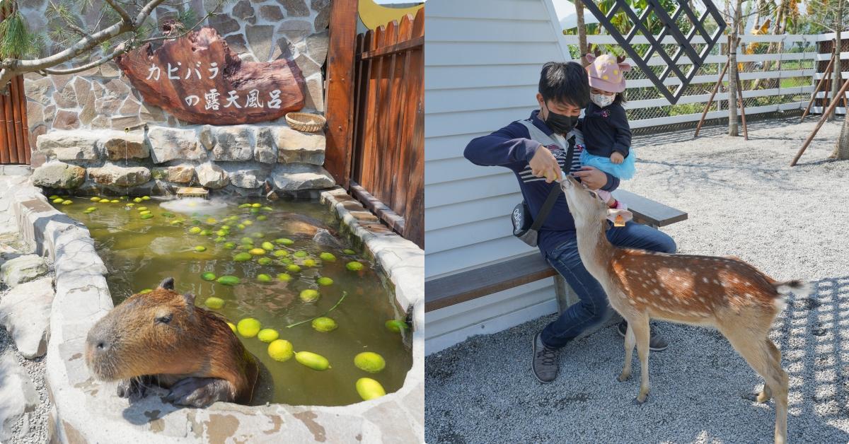 即時熱門文章:宜蘭親子農場》水豚君頂橘子!張美阿嬤農場,400坪日式庭園,穿和服餵小鹿、水豚君,還可兌換蔥油餅和雞蛋糕,適合親子同遊的景點