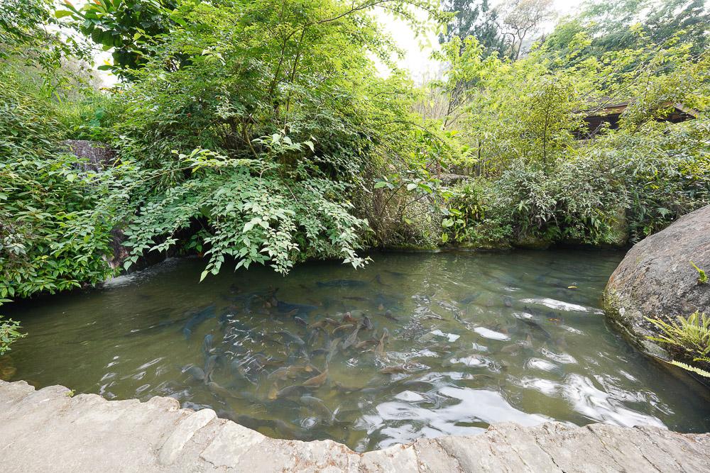 南投鹿谷》溪頭和雅谷餐廳,聽著溪流聲吃飯,CP值滿高的合菜餐廳,一魚多吃,清澈見底魚池餵魚去~